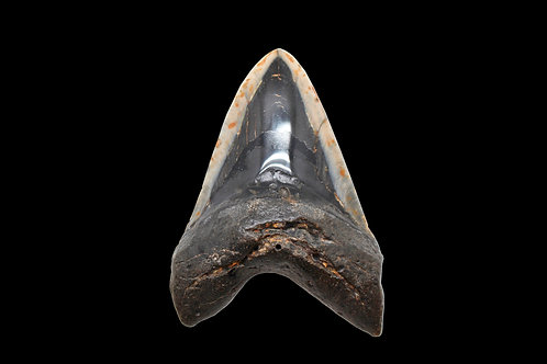 Ancient Megalodon Shark Tooth