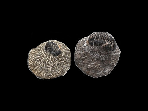Set of 2 Fossil Phacops Trilobites
