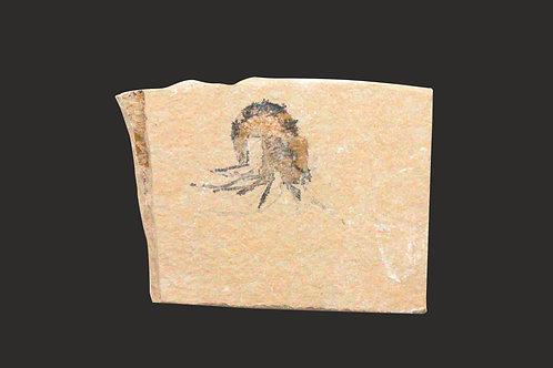 Fossil Shrimp - Carpopenaeus