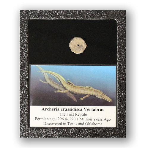 Ancient Archeria Crassida Vertebrae Fossil Display