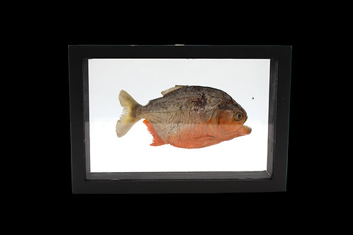 Piranha Display