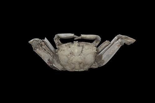 ANCIENT FOSSIL CRAB