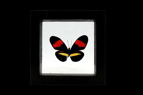 Heliconius Erato Butterfly