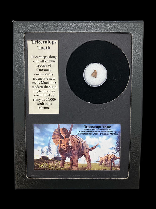 Triceratops Tooth Display