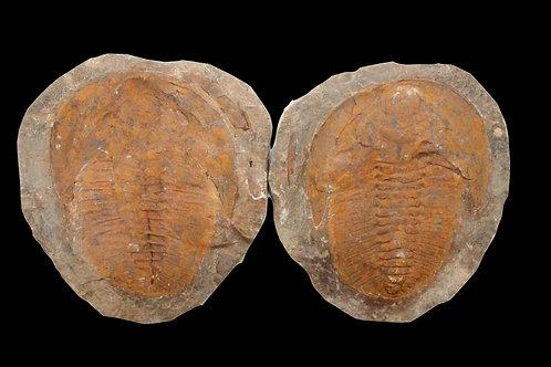 Trilobite Pair