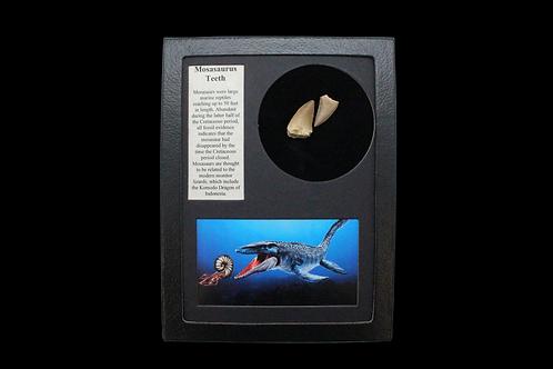 Mosasaurus Teeth