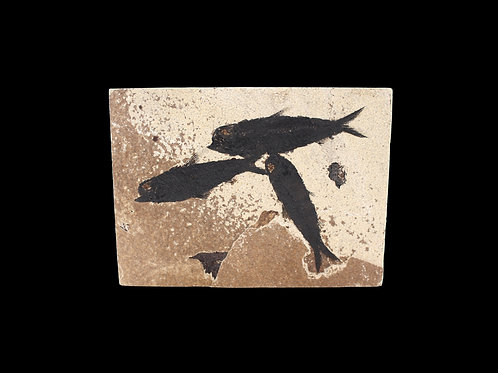 Ancient Fossil Fish in Stone