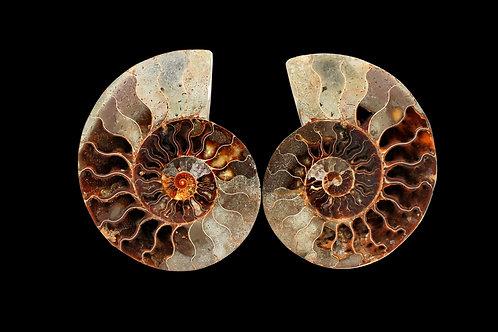 Large Ammonite Pair
