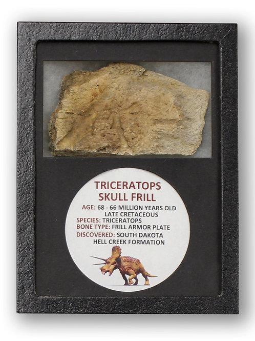 Ancient Triceratops Skull Frill Fossil Display