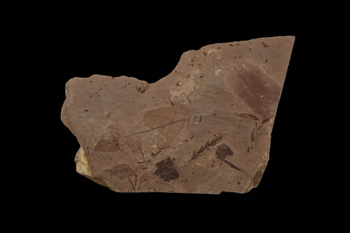 Ancient Fossil Leaves