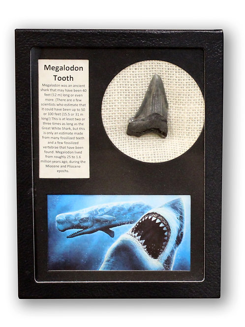 ANCIENT MEGALDON TOOTH DISPLAY