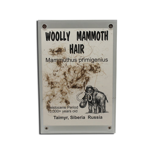Woolly Mammoth Hair Display