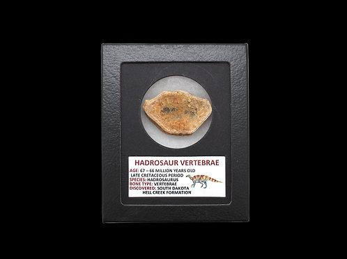 Hadrosaur Vertebrae