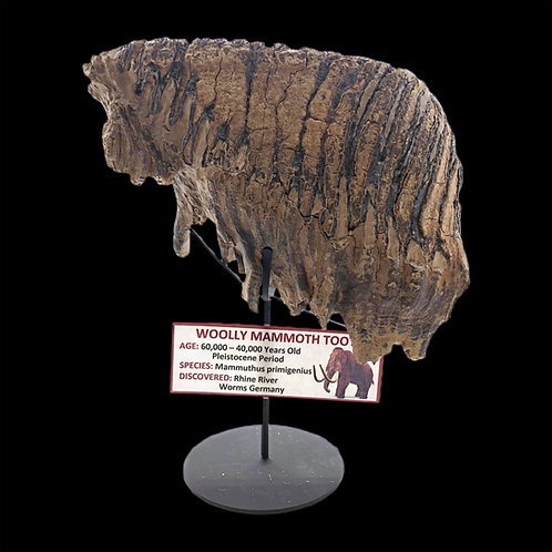 Woolly Mammoth Tooth