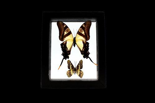 Eurytides Serville  Butterfly Set