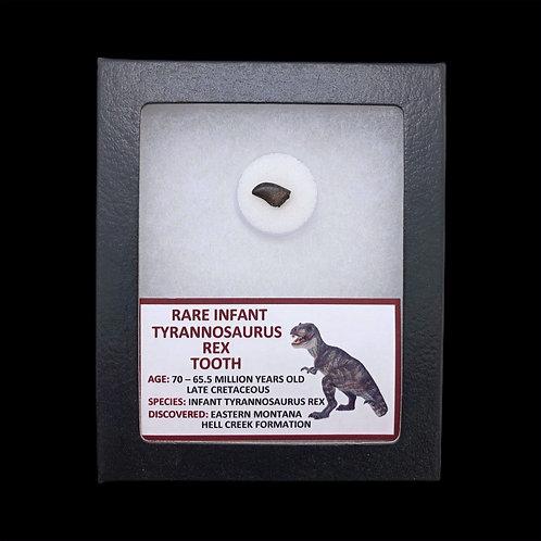 Rare Infant Tyrannosaurus Rex Tooth