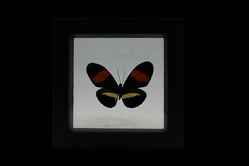 Heliconius Erato Butterfly