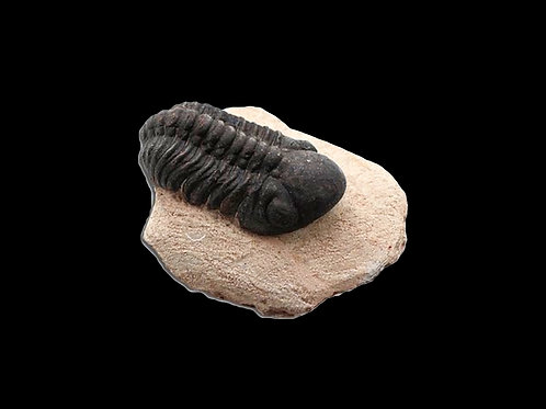 Large Reedops Trilobite Fossil in Matrix