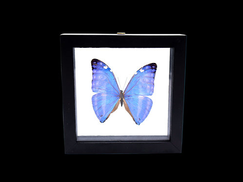 Morpho Marcus Butterfly
