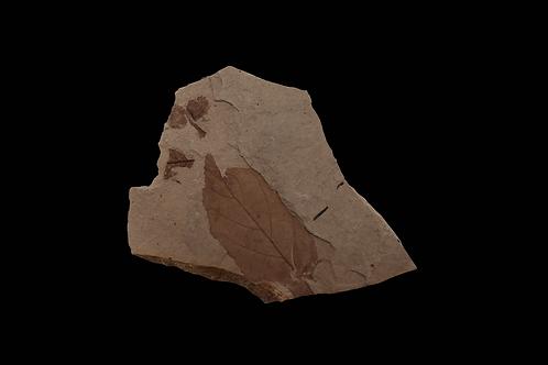 East TN Fossil Leaf