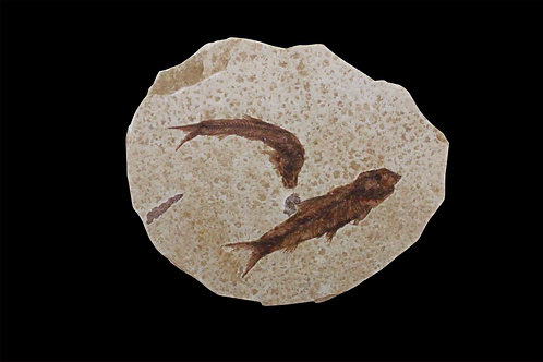 Small Fossil Fish