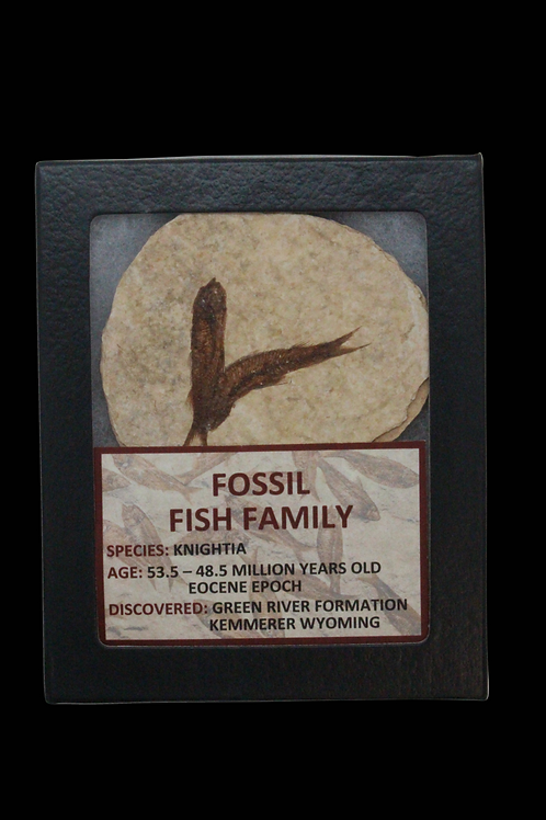 Fossil Fish Family - Green River Formation