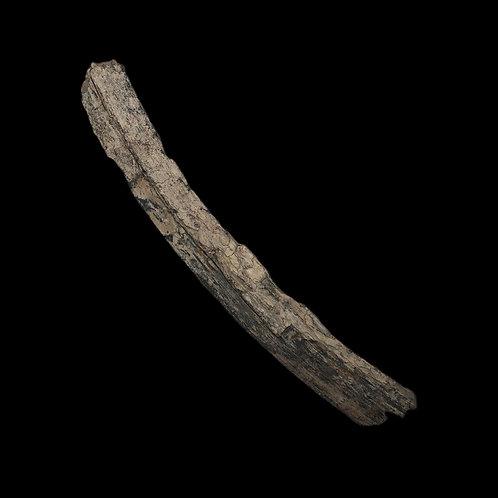 Ice Age Mammoth Tusk