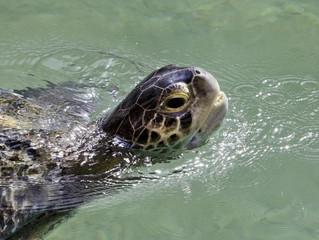Endangered hawksbill turtles at Dubai Aquarium