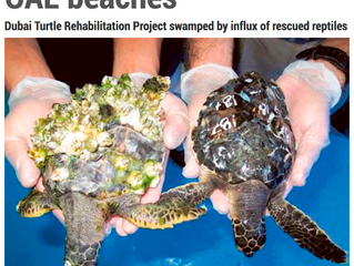Cold snap causes dozens of turtles to wash up on UAE beaches Dubai Turtle Rehabilitation Project swa