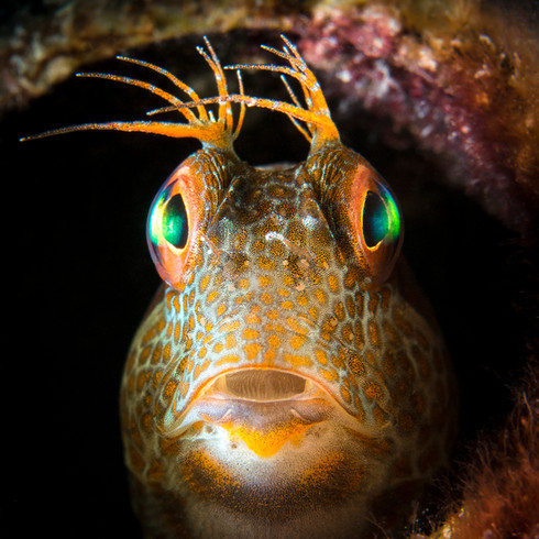 The King of Blennies