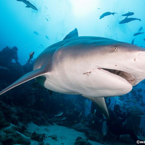 Bull Shark Fly By