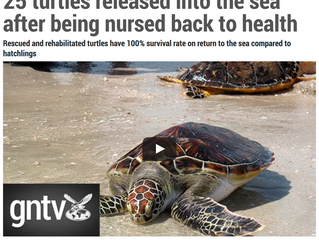 25 turtles released into the sea after being nursed back to health Rescued and rehabilitated turtles