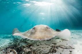 Sharks, Rays and Mantas - South Ari Atoll, the Maldives 2017