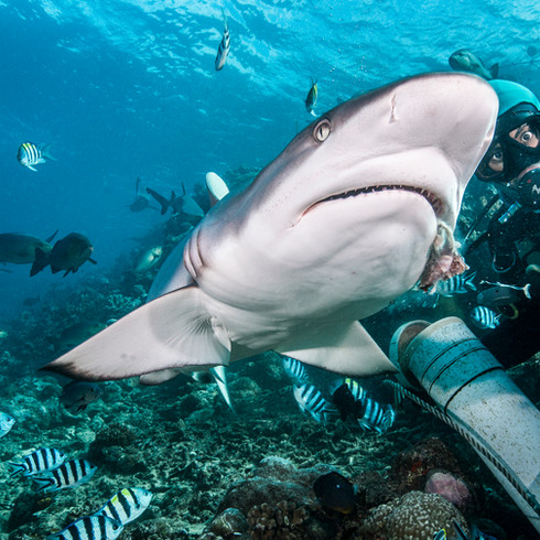 Diving with Grey Reef Sharks