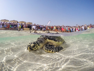 Sea turtles released back into waters Jumeirah Aquarium released 40 rehabilitated sea turtles with h