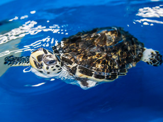Save a sea turtle in distress