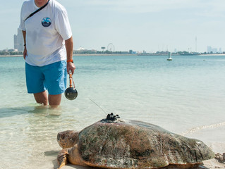 50 successfully rehabilitated sea turtles released for Endangered Species Day