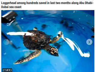 120kg turtle undergoing treatment Loggerhead among hundreds saved in last two months along Abu Dhabi