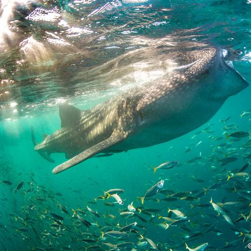 Whale Sharks of Tadjoura