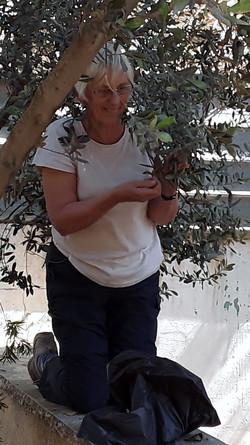 QVA Delegation - Olive Picking