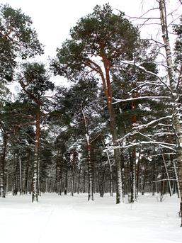 Merimets talvel