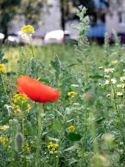 Hetkel domineerib lilleniidul malts. End on sisse seadnud ka teekummel. Lillleniit ootab rohimist. 27.06.2021