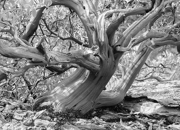 Manzanita Tree #1
