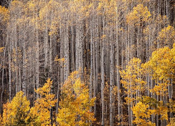Aspen Trees #1