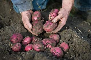 Red Potatoes in Dirt