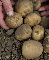 Yellow Potatoes in Dirt