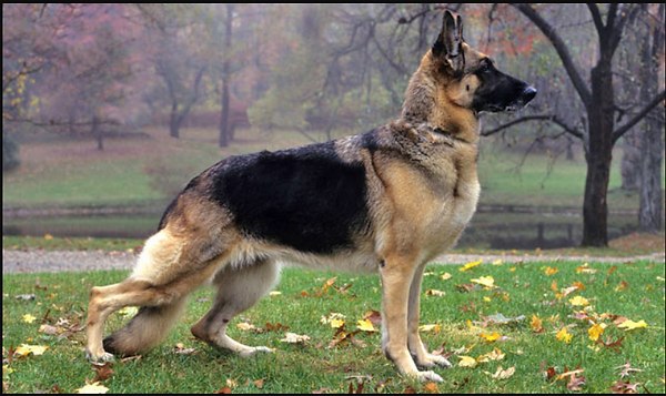 German Shepherd.png