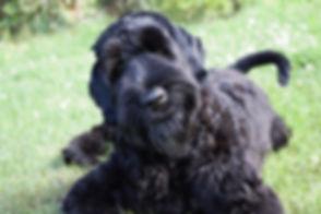 Black Barunita - Schwarzer Russischer Terrier, Russicher Schwarzer Terrier