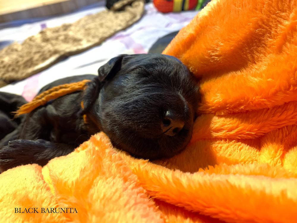 A- Wurf Black Barunita - Welpen 14 Tage