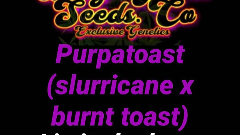 Purpa toast (slurricane x burnt toast f2)(seeds)